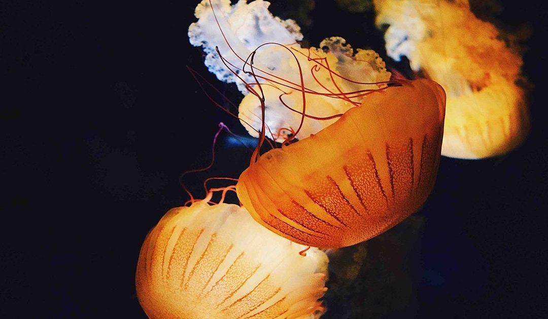 MedusApp, nueva App gratuita que avisa en tiempo real de la presencia de medusas.